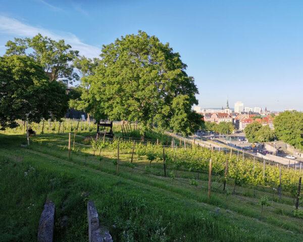 Das Titelbild aus Erfurt zeigt den Weinberg auf der Petersberg